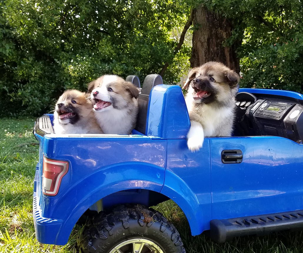 Icelandic Sheepdog Puppies in a Truck